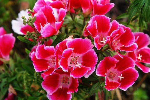 送春花种子